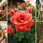 Как правильно обрезать домашние розы весной после зимовки: советы начинающим
