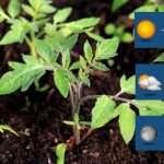 Какую температуру выдерживает рассада томатов: минимальная и оптимальная