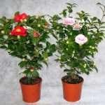 Камелия комнатный цветок - уход, выращивание и содержание в домашних условиях, фото