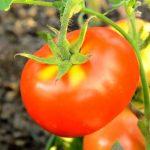 Томат Взрыв: отзывы, фото, кто сажал, характеристика и описание сорта, урожайность